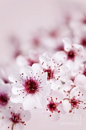 今年の私のお花見はこの写真で我慢するw